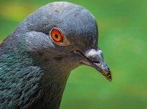 twarz gołębia